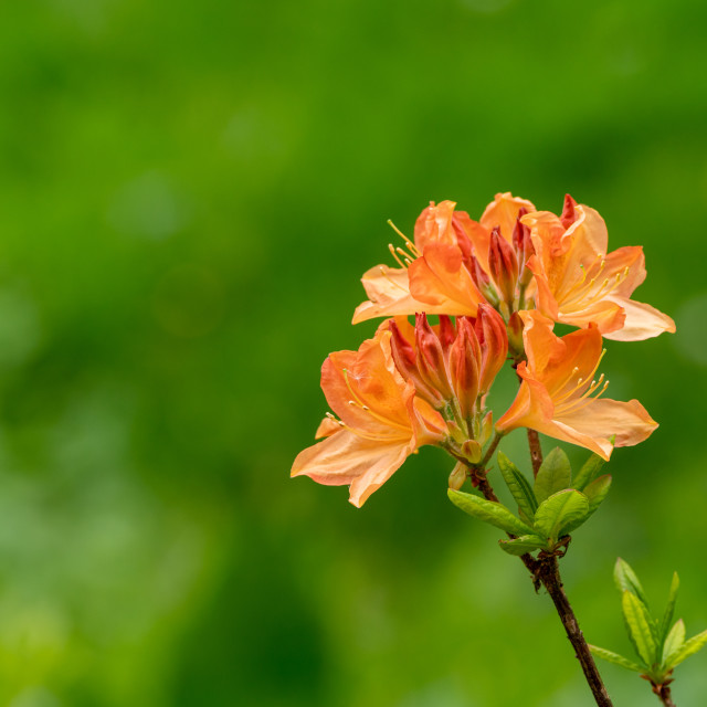 """Azalea flower, in a subtle orange colour"" stock image"