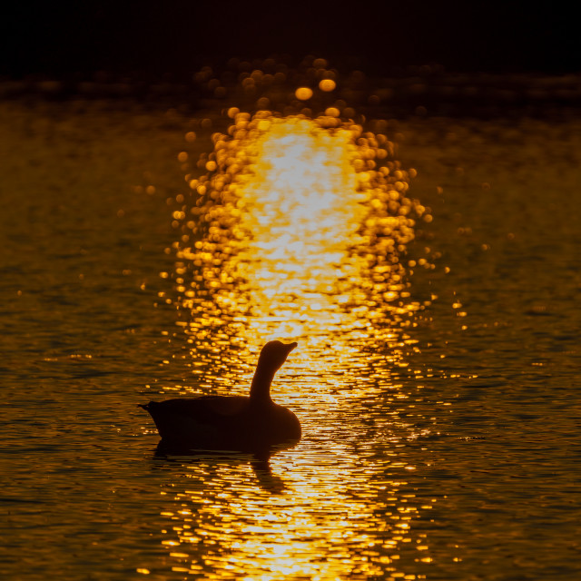"""Canada Goose (Branta canadensis) silhouette at sunset, taken in the UK"" stock image"