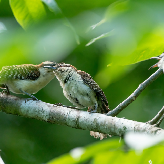 """rufous-naped Wren (Campylorhynchus rufinucha) in Costa Rica"" stock image"
