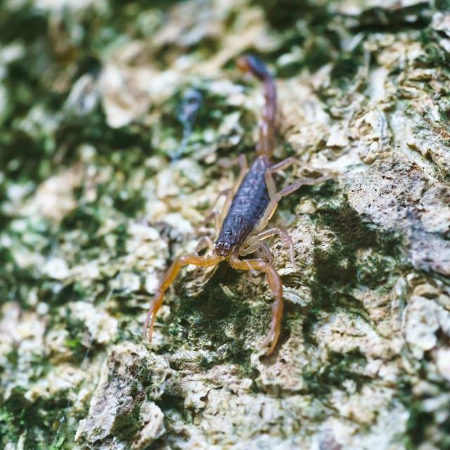 """Central American Bark Scorpion (centurioides margaritatus)"" stock image"