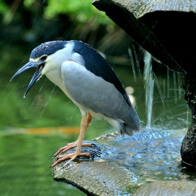 """Crested Night Heron"" stock image"