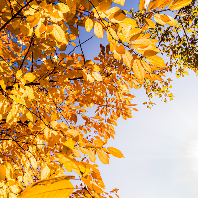 """""""Orange common hornbeam (Carpinus betulus) leaves close to the Dnieper river in Kiev, Ukraine, at the beginning of autumn, with a soft blue cloudy sky"""" stock image"""