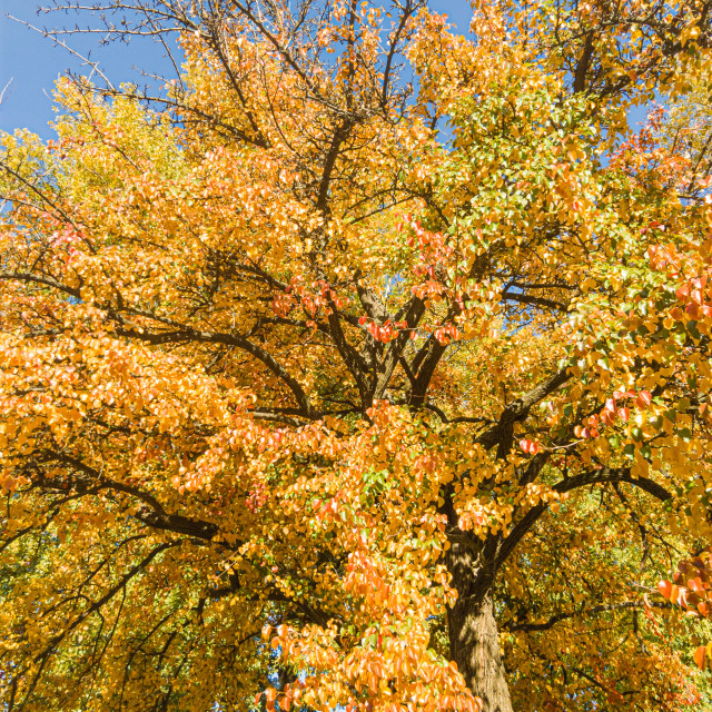 """""""Detail of the foliage of a huge pear tree in autumn, with green, orange and gold leaves"""" stock image"""