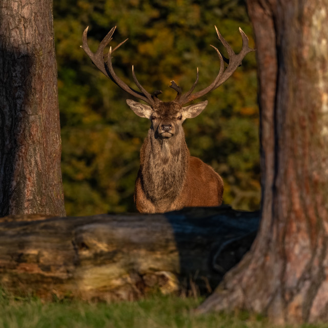 """""""Red Deer Stag in Autumn colours"""" stock image"""