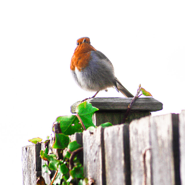 """""""Robin on a Fence"""" stock image"""