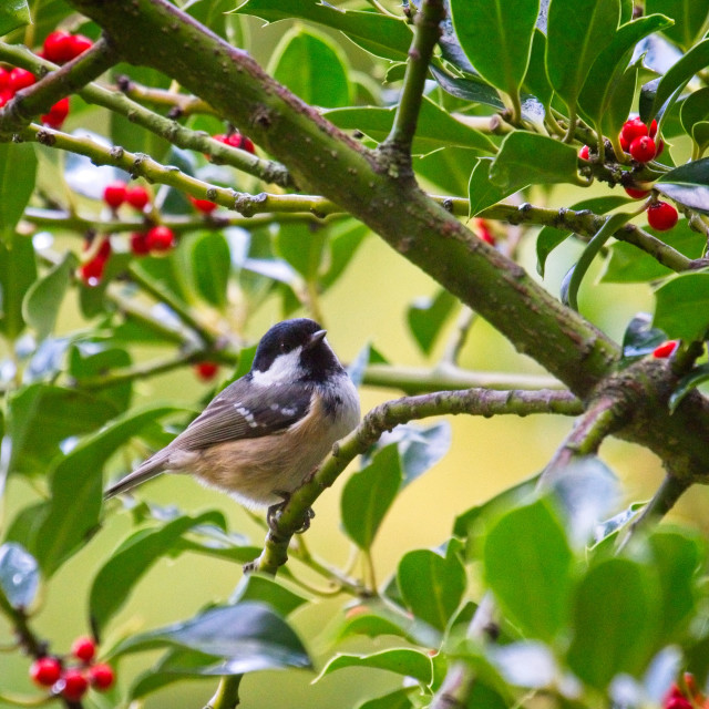 """Coal Tit (Periparus ater) In A Holly Tree"" stock image"
