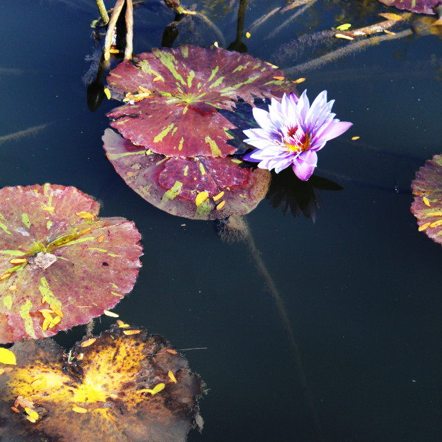 """""""purple water lily"""" stock image"""
