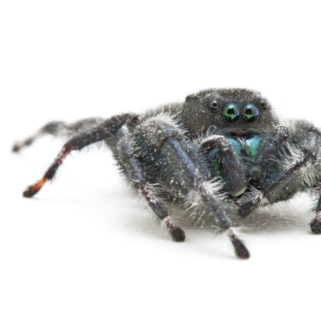 """Daring Jumping Spider"" stock image"