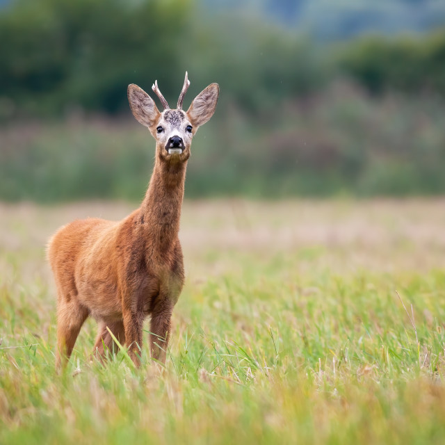 """Roe deer buck on the grassy meadow smelling something in the air"" stock image"