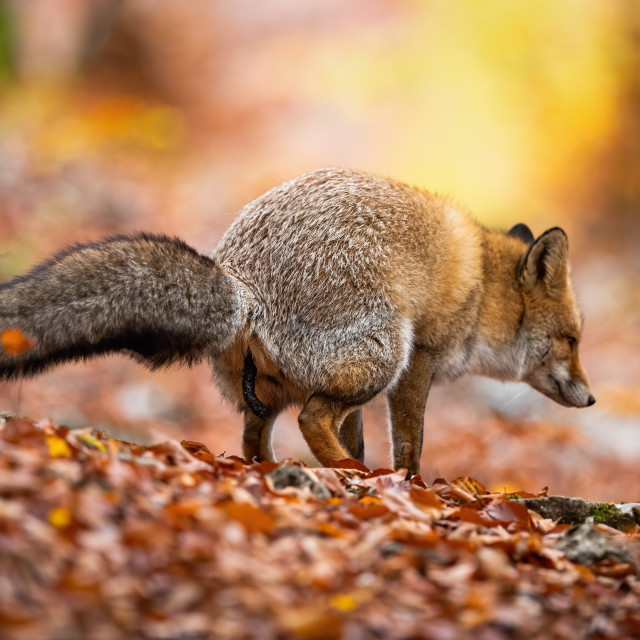 """Red fox excrementing and marking territory in autumnal forest"" stock image"