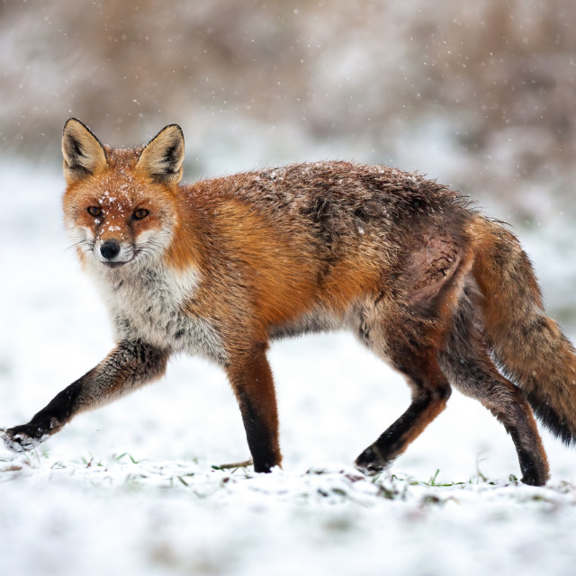 """Injured red fox passing by on in a polar landscape with snow in wintertime"" stock image"