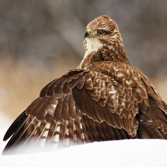 """""""Fierce common buzzard protecting the prey with wings spread wide in polar nature"""" stock image"""