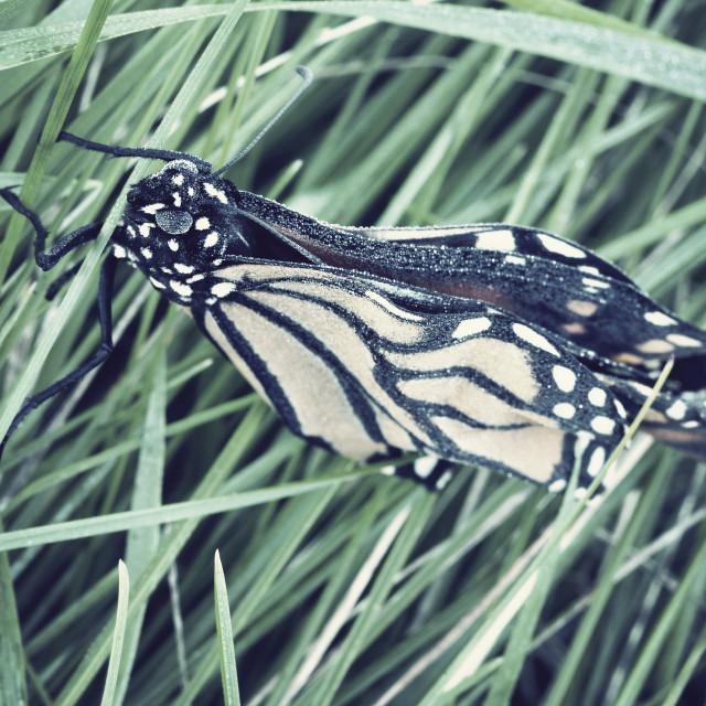 """Frozen Monarch"" stock image"