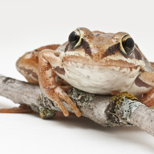"""""""Potrait of a Wood Frog"""" stock image"""