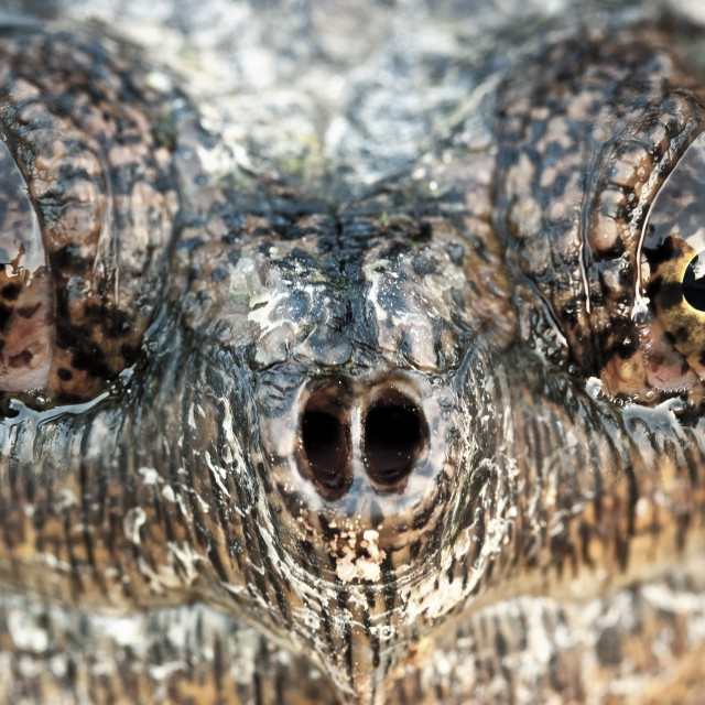 """""""Snapping Turtle Face"""" stock image"""
