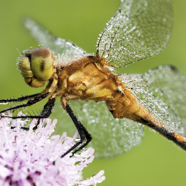 """""""Sparkling Dragonfly"""" stock image"""