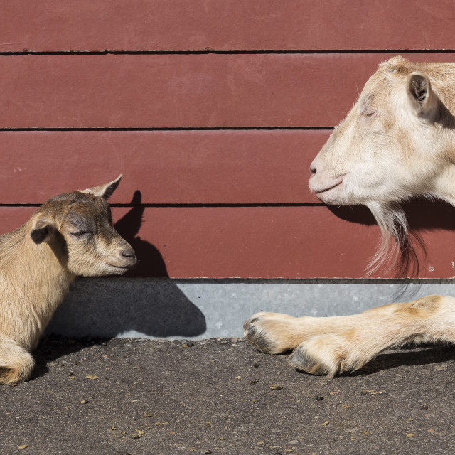 """""""Two Goats"""" stock image"""