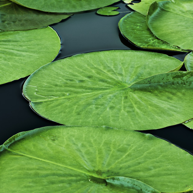"""""""Lily Pads"""" stock image"""