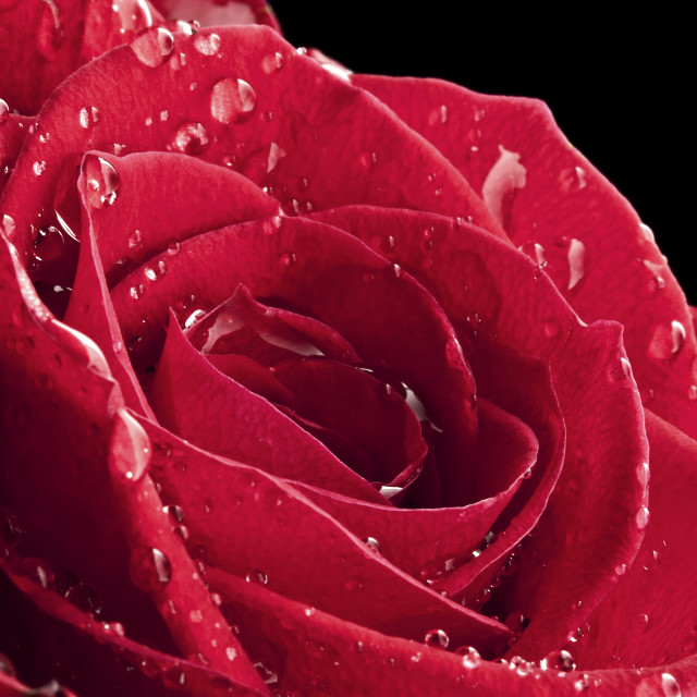 """""""Rose After The Rain"""" stock image"""