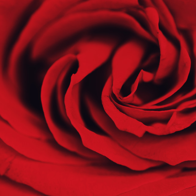 """""""The Spiral of a Rose"""" stock image"""