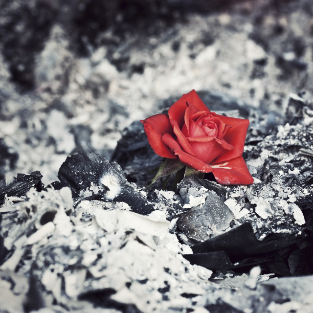 """""""Beauty Rises from the Ashes"""" stock image"""