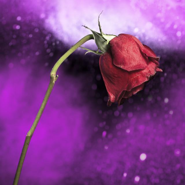 """Enchanted Rose"" stock image"