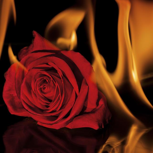 """Fiery Rose"" stock image"