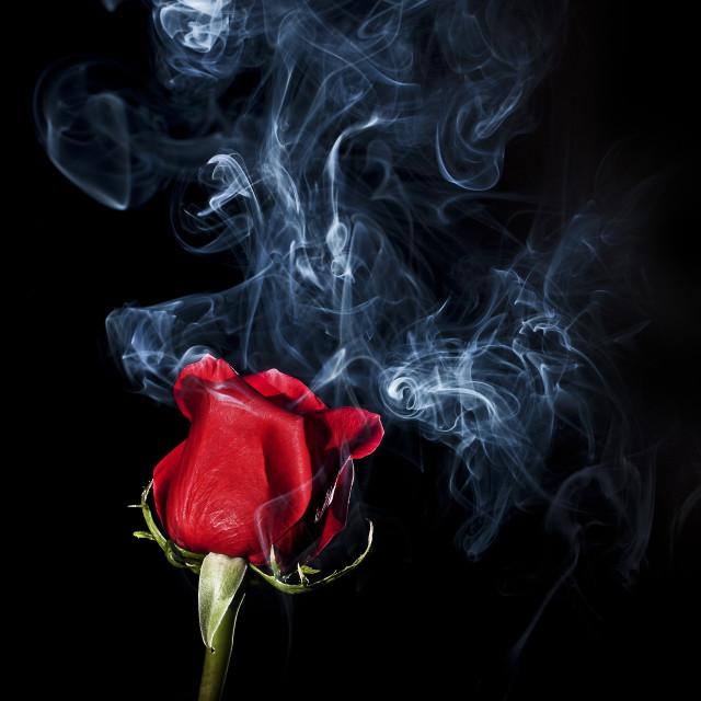 """""""Smoky Rose"""" stock image"""