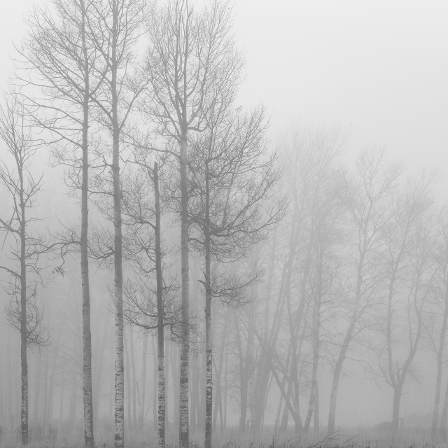 """Birches in Fog"" stock image"