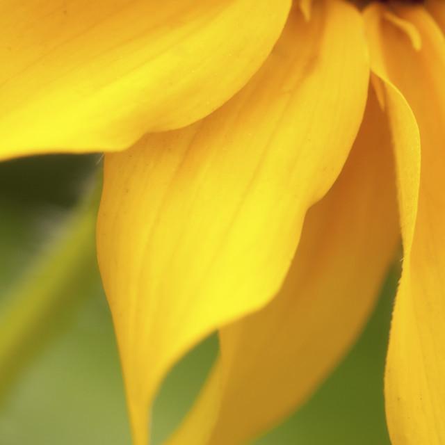 """Soft Yellow Petals"" stock image"