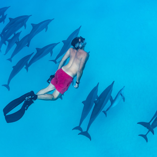 """""""man swimming with a pod of Spinner dolphins (Stenella longirorstris) over..."""" stock image"""