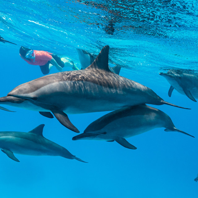 """""""woman swimming with a pod of Spinner dolphins (Stenella longirorstris) over..."""" stock image"""