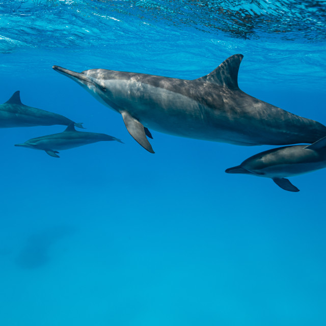 """""""mothers and babies Spinner dolphins (Stenella longirorstris) swimming over..."""" stock image"""