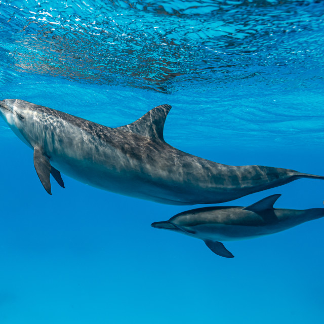 """""""mother and baby Spinner dolphins (Stenella longirorstris) swimming over sand..."""" stock image"""