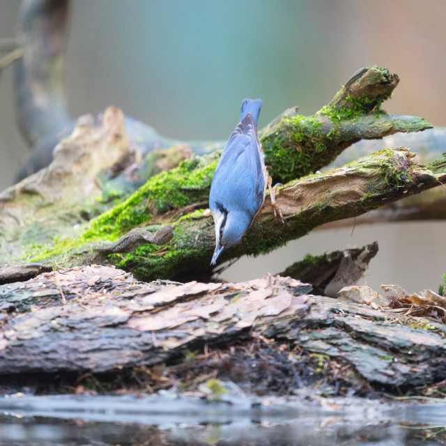 """Eurasian nuthatch in nature"" stock image"
