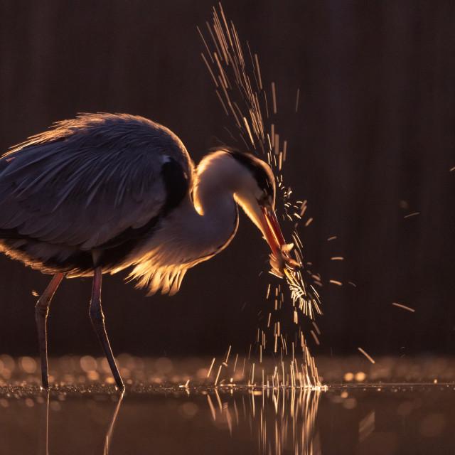 """""""Grey Heron fishing at down"""" stock image"""