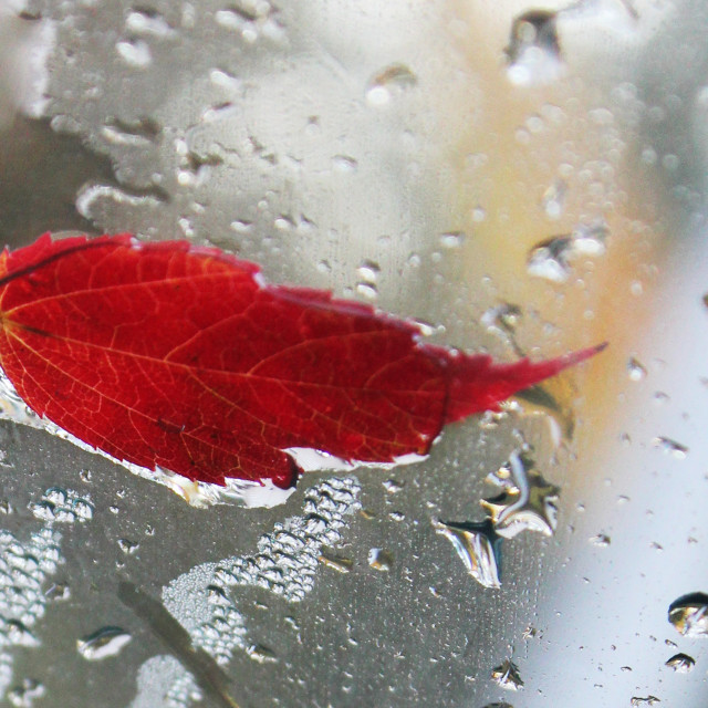 """""""a red leaf and raindrops"""" stock image"""