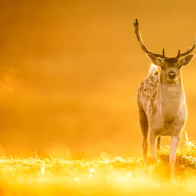 """sunrise deer"" stock image"