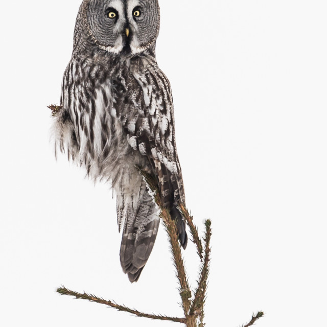 """""""Great Grey Owl, Finland"""" stock image"""