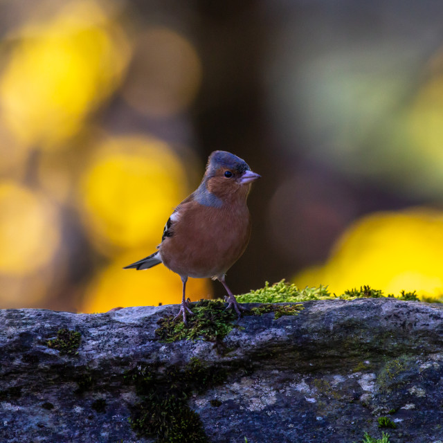 """""""Chaffinch."""" stock image"""