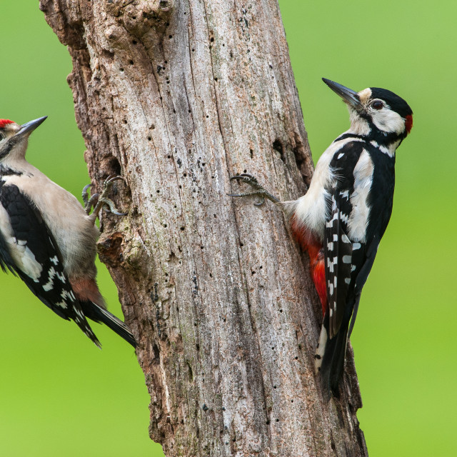 """""""Great spotted woodpecker - male and juvenile"""" stock image"""