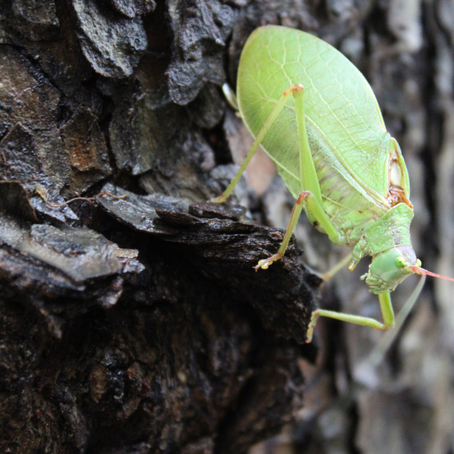 """another katydid"" stock image"
