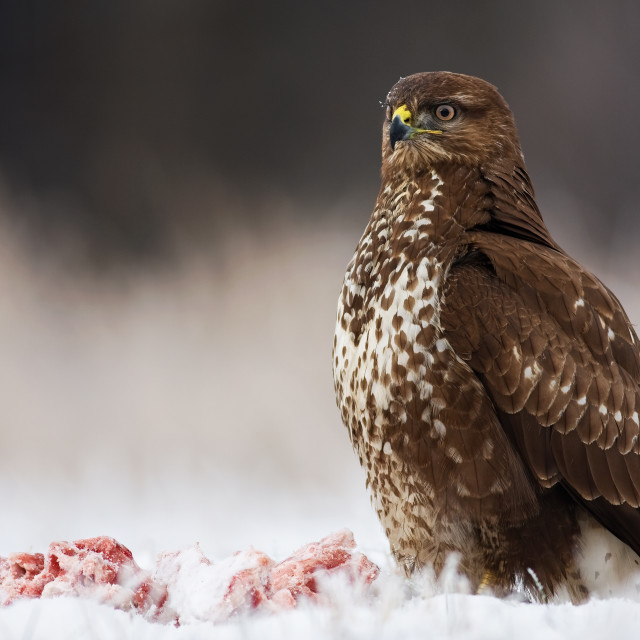 """""""Wild bird of prey sitting proudly with a kill nearby in winter."""" stock image"""
