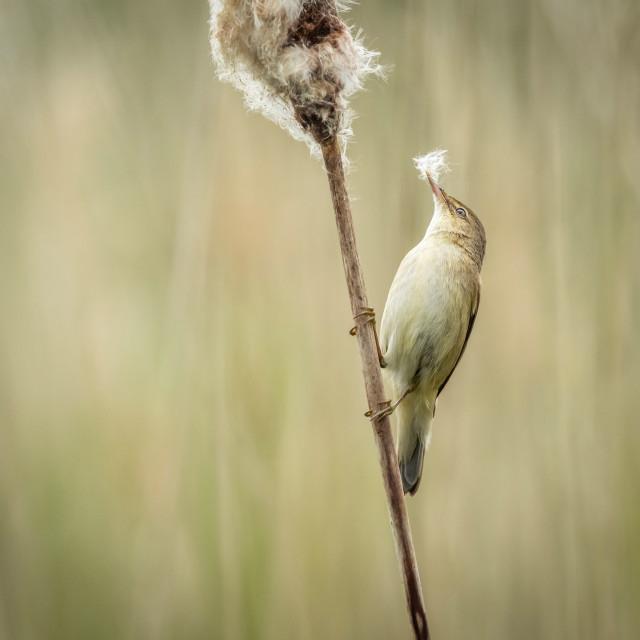 """""""Reed warbler"""" stock image"""