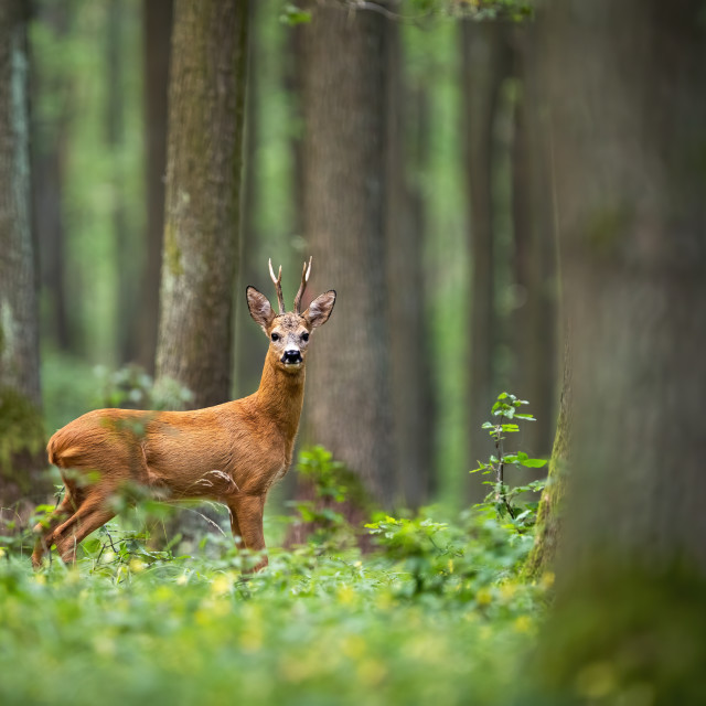 """Roe deer spotted among the trees and yellow flowers"" stock image"