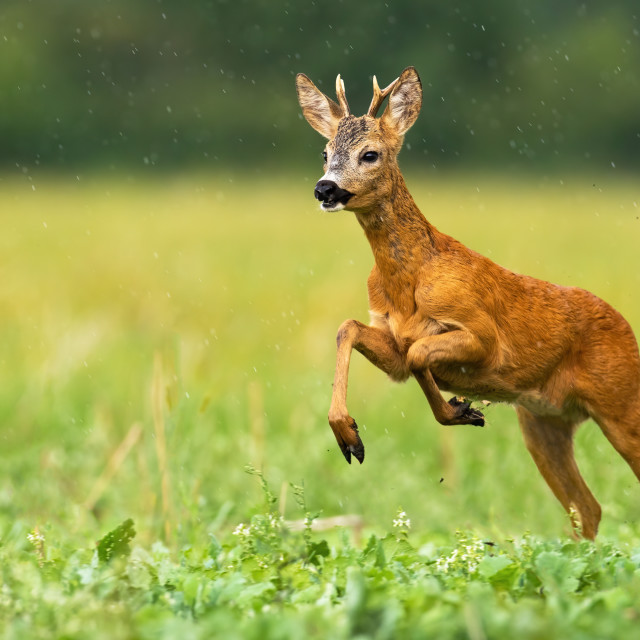 """Young roe deer running through the summer raindrops"" stock image"