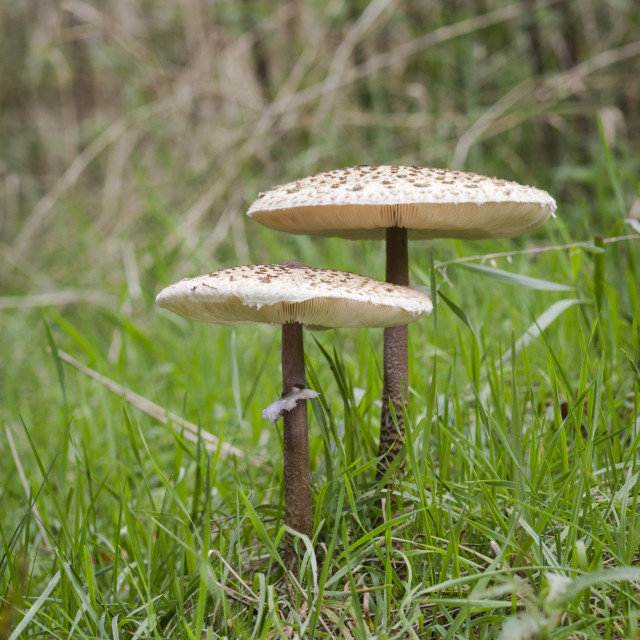 """Green meadow with edible Parasol mushroom, (Macrolepiota procera), Netherlands."" stock image"