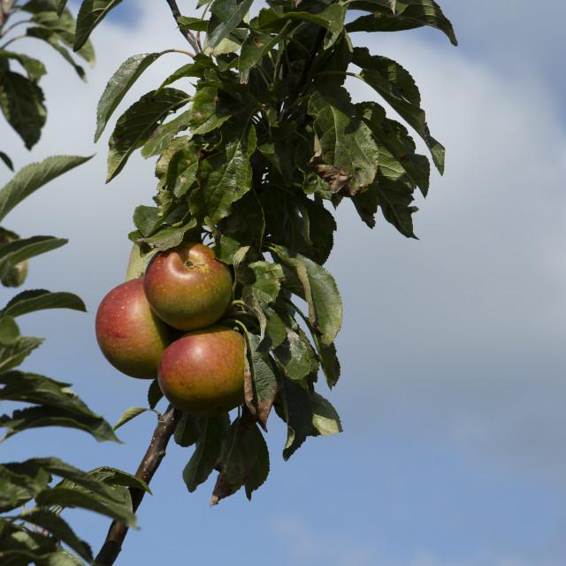 """Apple tree"" stock image"