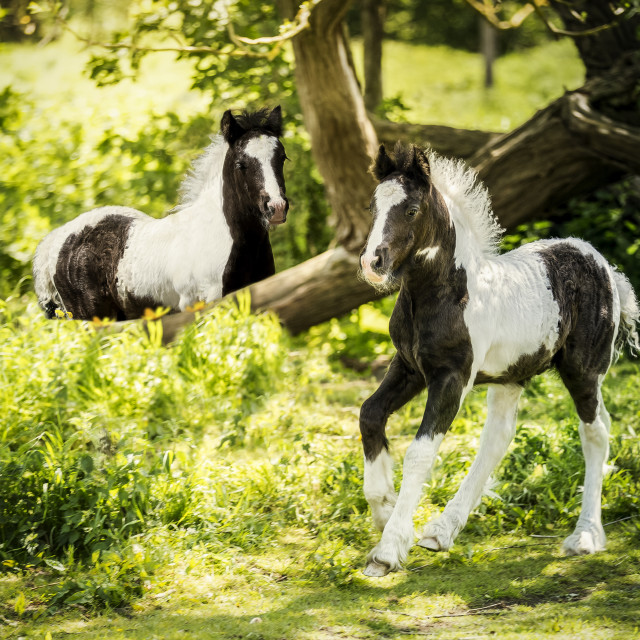 """Baby Horses"" stock image"