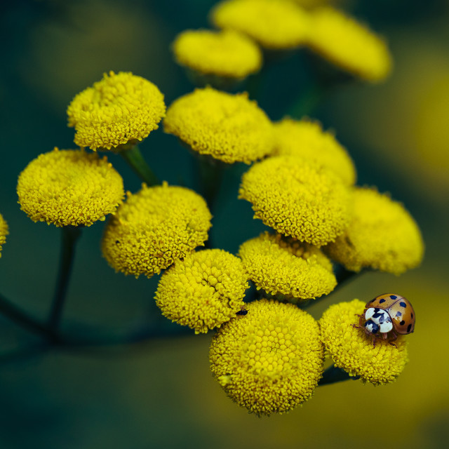 """Tansy flower"" stock image"